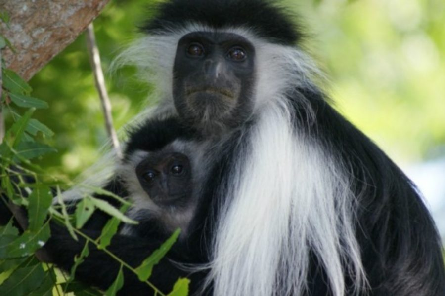 Africair, Inc. is a Proud Supporter of the Colobus Conservation